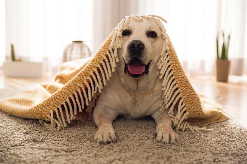 Gardez votre intérieur propre avec un chien à la maison